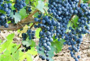 Vinha de uva, simbolo do Espiritismo