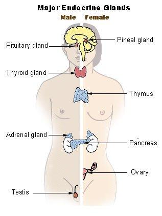 As maiores glândulas do nosso corpo