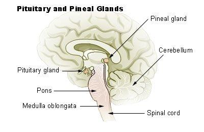 A Codificação não cita a glândula pineal, porém Kardec definiu claramente que o processo mediúnico é orgânico, obedecendo à estrutura física do médium.
